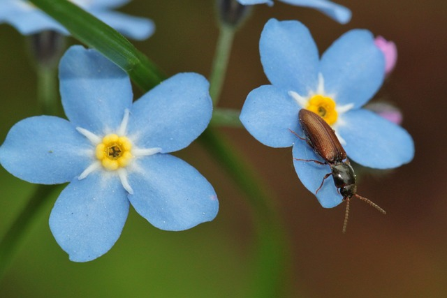 Forget Me Not, Flower, Bloom, Close - Free image - 350371